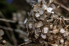 hydrangea ξηρά λουλούδια Στοκ εικόνες με δικαίωμα ελεύθερης χρήσης