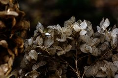 hydrangea ξηρά λουλούδια Στοκ Φωτογραφία