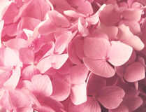 hydrangea λουλουδιών ανασκόπησ Στοκ φωτογραφία με δικαίωμα ελεύθερης χρήσης