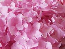 hydrangea λουλουδιών ανασκόπησ Στοκ εικόνες με δικαίωμα ελεύθερης χρήσης