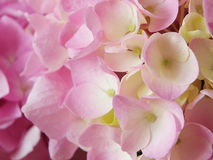 hydrangea λουλουδιών ανασκόπησ Στοκ Εικόνες