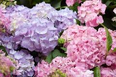 hydrangea λουλουδιών ανασκόπησ Στοκ Φωτογραφία