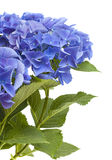 Hydrangea που απομονώνεται μπλε Στοκ φωτογραφία με δικαίωμα ελεύθερης χρήσης