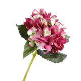 Hydrangea που απομονώνεται ρόδινο στο λευκό Στοκ φωτογραφία με δικαίωμα ελεύθερης χρήσης