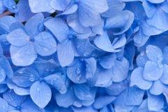 Hydrangea στη βροχή Στοκ φωτογραφία με δικαίωμα ελεύθερης χρήσης