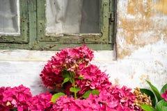 Hydrangea στη θαυμάσια κόκκινη άνθιση Στοκ Εικόνες