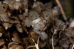hydrangea высушенные цветки Стоковое Изображение RF