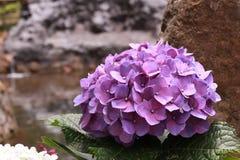 hydrangea Imagem de Stock
