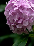 Hydrangea. August, 2009, Ukraine, Zaporozhye. a lilac hydrangea is in a garden royalty free stock images