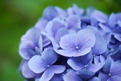 макрос hydrangea Стоковое Фото