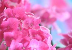 Hydrangea Immagine Stock Libera da Diritti
