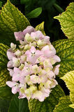 Hydrangea. Close up of a hydrangea flower Royalty Free Stock Image