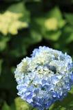 Hydrangea Royalty Free Stock Image