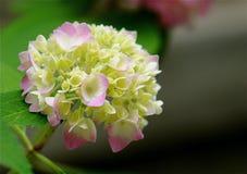 Hydrangea Fotografia de Stock Royalty Free