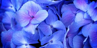 Hydrangea. Close up of a group blue and pink hydrangea Royalty Free Stock Photography