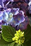 Hydrangea 2 Stock Images