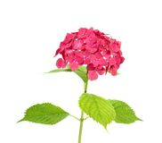 Hydrangea Royalty Free Stock Photography