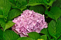 hydrangea Стоковая Фотография