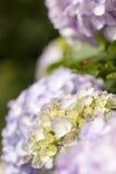 Hydrangea Fotografia Stock