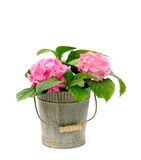 Hydrangea. In a zinc pan on white Royalty Free Stock Images