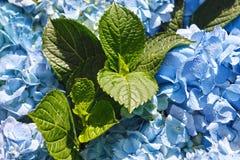 hydrangea Стоковые Фотографии RF