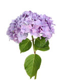 Hydrangea. Mophead hydrangea flower and leaves isolated against white royalty free stock photos