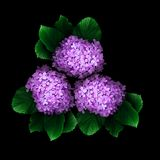 Hydrangea. Flowers on a black background Stock Images