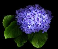 Hydrangea. Flowers on a black background Royalty Free Stock Photos