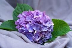 Hydrangea Στοκ Εικόνες