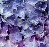 Hydrangea. Close up of blue hydrangea texture macro Royalty Free Stock Image