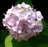 Hydrangea Image libre de droits