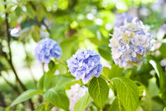 Hydrangea. Blooms in a garden Royalty Free Stock Images