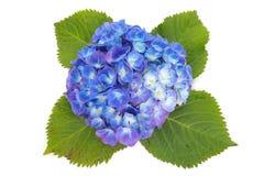 hydrangea Imagenes de archivo