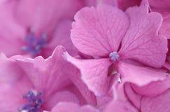 hydrangea Стоковые Изображения RF