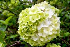 hydrangea Foto de Stock Royalty Free