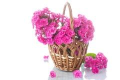 hydrangea Imagens de Stock Royalty Free