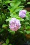 hydrangea Стоковое фото RF