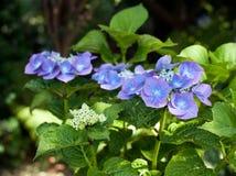 hydrangea Стоковая Фотография RF