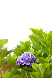 Hydrangea. Purple Hydrangea flower with green foliage isolated on a white background Stock Photography