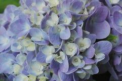 hydrangea Royaltyfri Foto