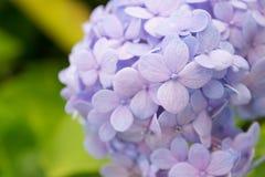 hydrangea Royalty-vrije Stock Fotografie