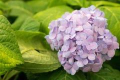 hydrangea Royalty-vrije Stock Foto's