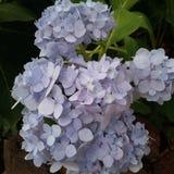 hydrangea Foto de archivo libre de regalías