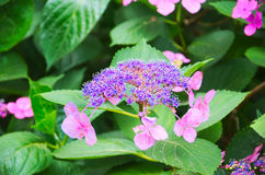 Hydrangea1 Fotos de Stock Royalty Free