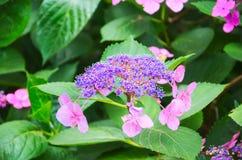 Hydrangea1 royaltyfria foton