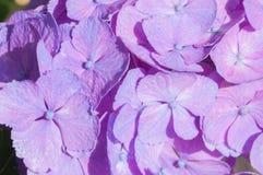 hydrangea stockbilder