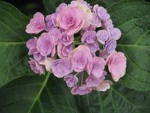 hydrangea Royaltyfria Bilder