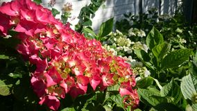 hydrangea στοκ φωτογραφία με δικαίωμα ελεύθερης χρήσης