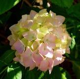 hydrangea Image stock