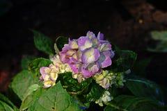 hydrangea Стоковое Фото
